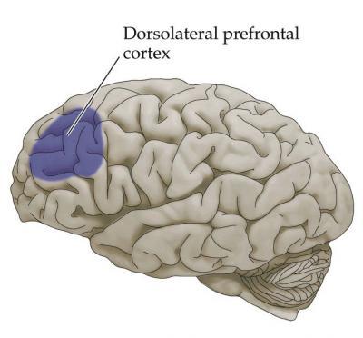 dorsolateral-prefrontal-cortex3